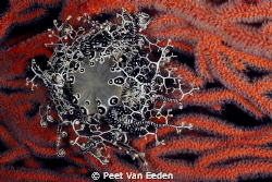 Basket star on sea fan. Jewel of the ocean by Peet Van Eeden